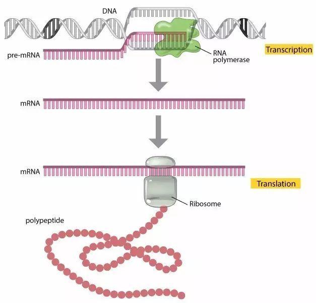 到蛋白质的转录,翻译过程图片