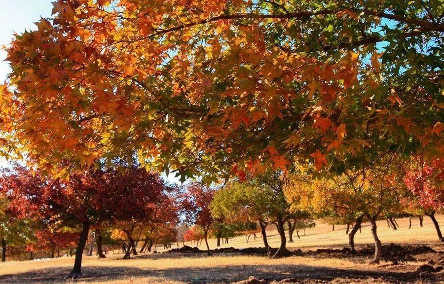 比日本红叶美100倍!中国这6万亩枫林美成天堂,庆幸少有人知!
