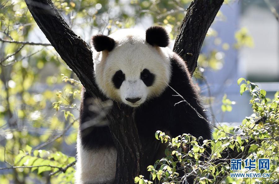 9月27日拍摄的沈阳森林动物园熊猫馆的大熊猫.