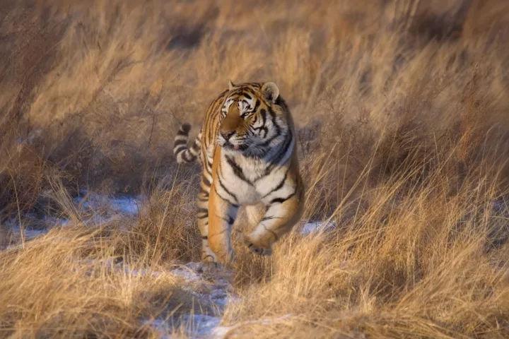 东北虎豹国家公园图片