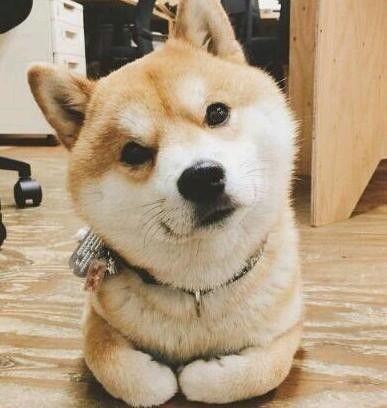 安利一套柴犬表情包