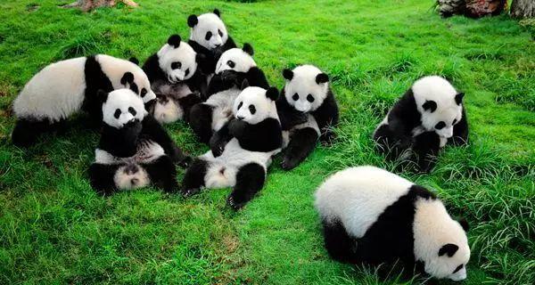 """1,接触""""国民萌宠""""—大熊猫生态之旅图片"""