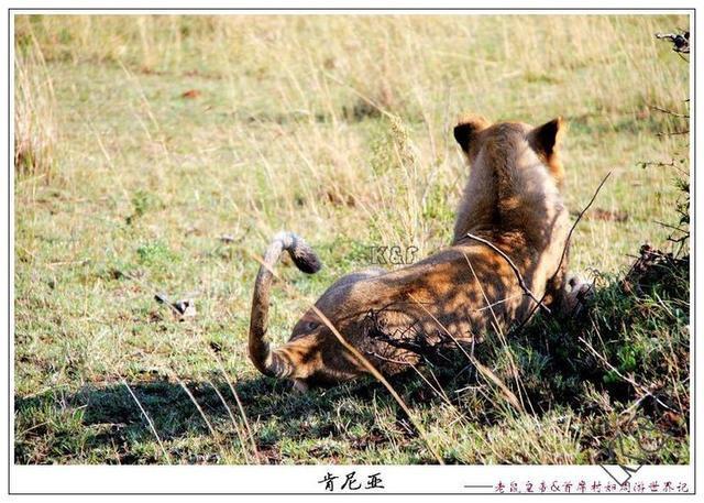 """""""万兽之王""""很会打猎,内斗也很激烈,雄性捍卫领地靠吼靠尿"""