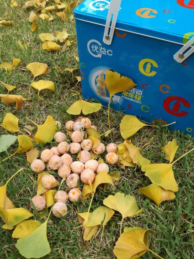 秋天这些落地的白果子不要浪费了,曾是皇家贡品