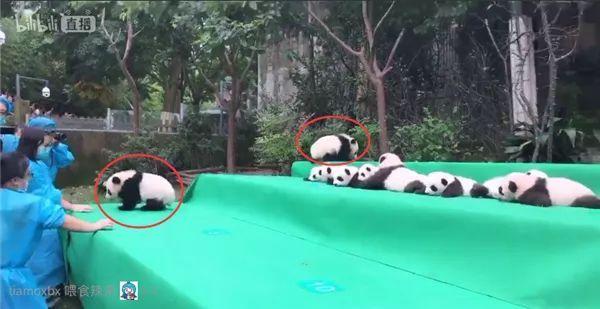 2017新生大熊猫宝宝齐亮相!小团子发来高萌冲击波