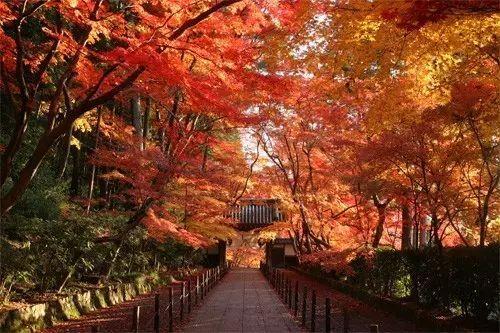 壁纸 枫叶 红枫 树 500_333图片