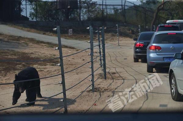黄金周八达岭野生动物园停车位难求,熊园装上电网
