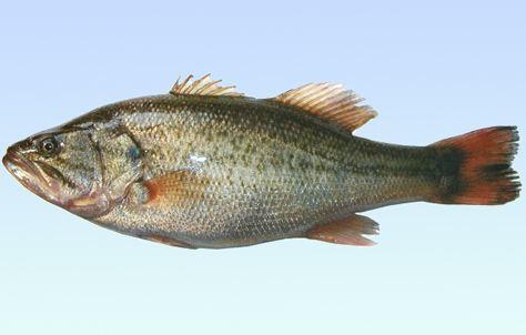 干货,鲈鱼的营养价值及食用禁忌