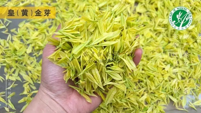 【茶·识】怎么区分黄金芽与黄金叶?