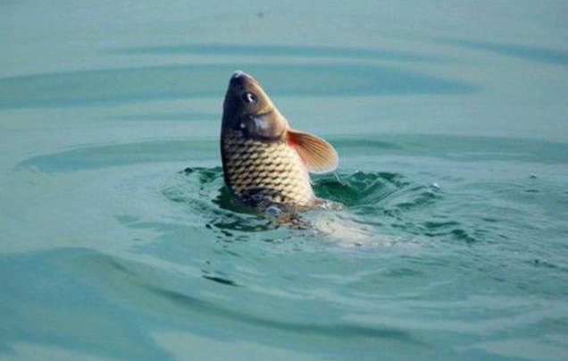 秋季鱼塘钓鲤鱼视频_秋天钓鲤鱼方法和技巧,掌握好了你也能爆护