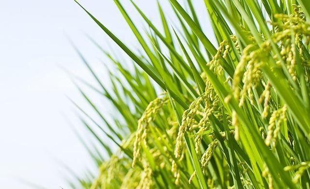 可以在盐碱滩涂地上生长的水稻.图片