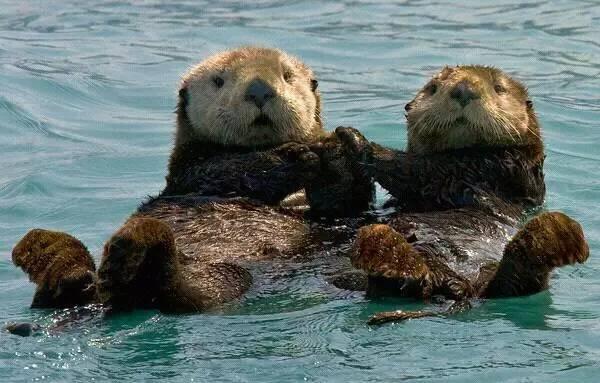 海獭既可爱又重要。你呢?一只宠物海獭多少钱