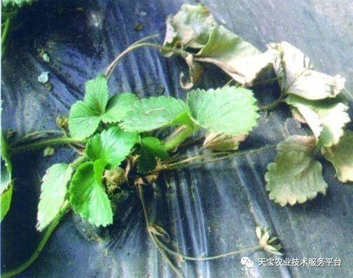 草莓苗烂根怎么处理图片