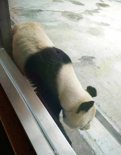 西安一大熊猫瘦皮包骨 园方:得牙髓炎不吃东西