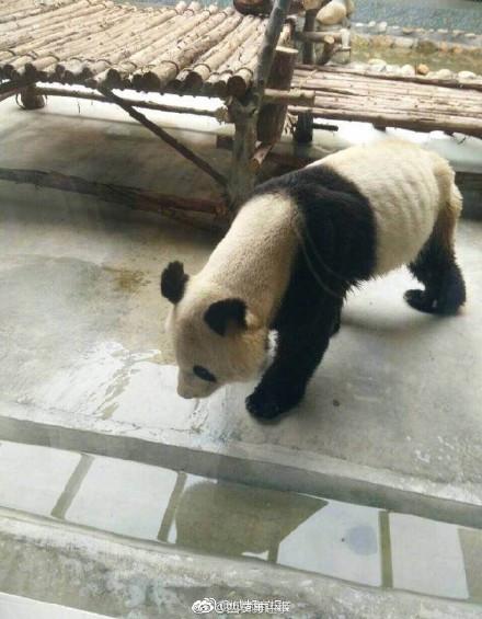 西安一大熊猫瘦成皮包骨 动物园回应:得了牙髓炎