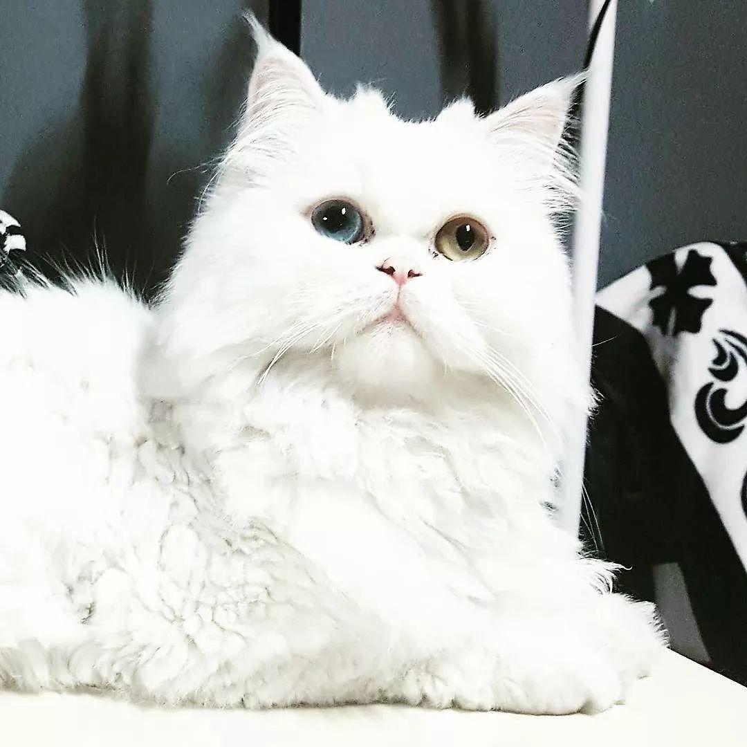 白毛蓝眼睛的猫_咦?为什么异瞳的猫咪大部分都是白色?