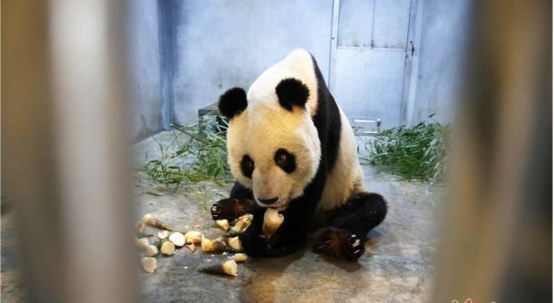 大熊猫得牙髓炎瘦成皮包骨? 西安秦岭野生动物园回应