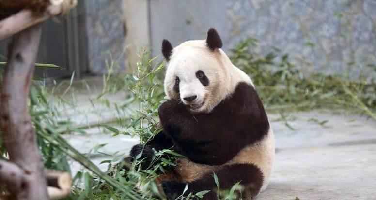 陕西大熊猫得牙髓炎瘦成皮包骨? 园方回应现在已胖了