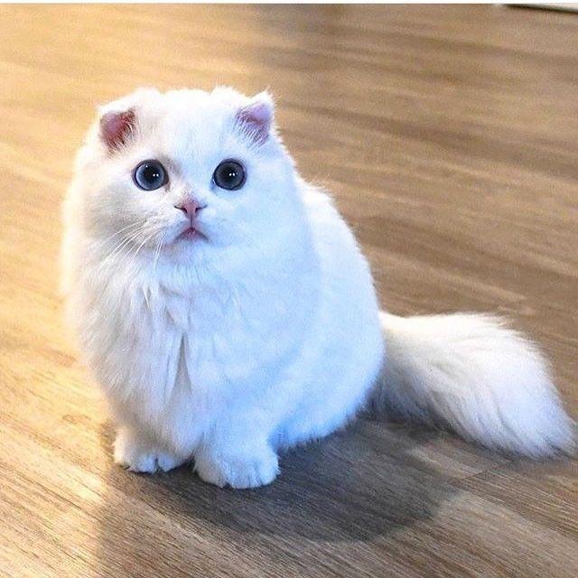 短腿的猫咪出现