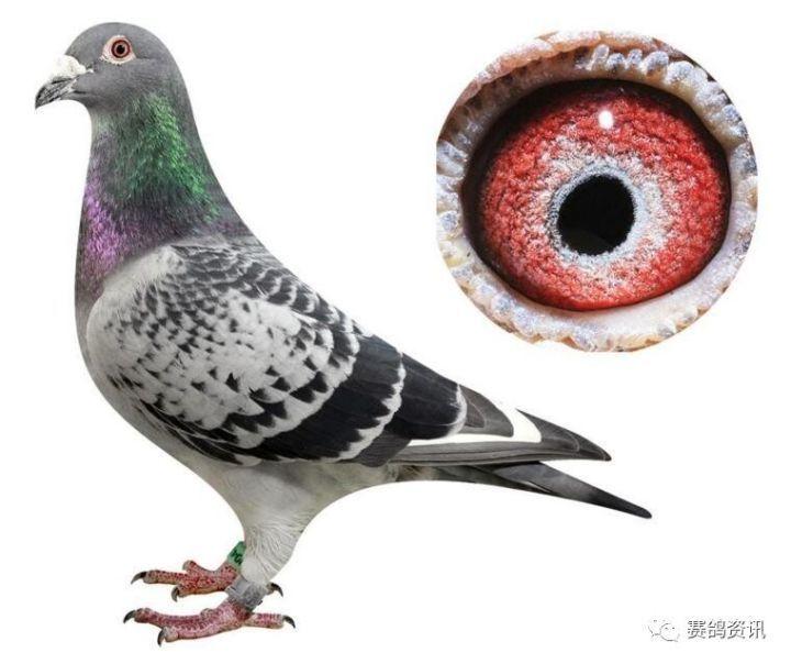 【赛鸽丨玩具】多关赛经验这样让大奖赢恐龙!我要看异特龙鸽子高手图片