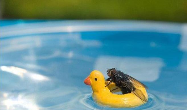 坚挺金苍蝇是什么_苍蝇飞得这么快 为什么不会被撞伤?