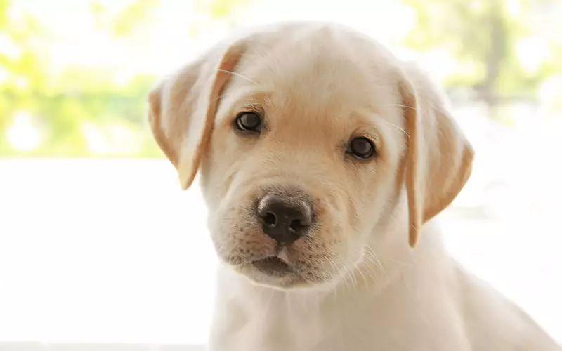 狗狗乳腺炎症状_母狗不需要绝育?这些数据告诉你答案
