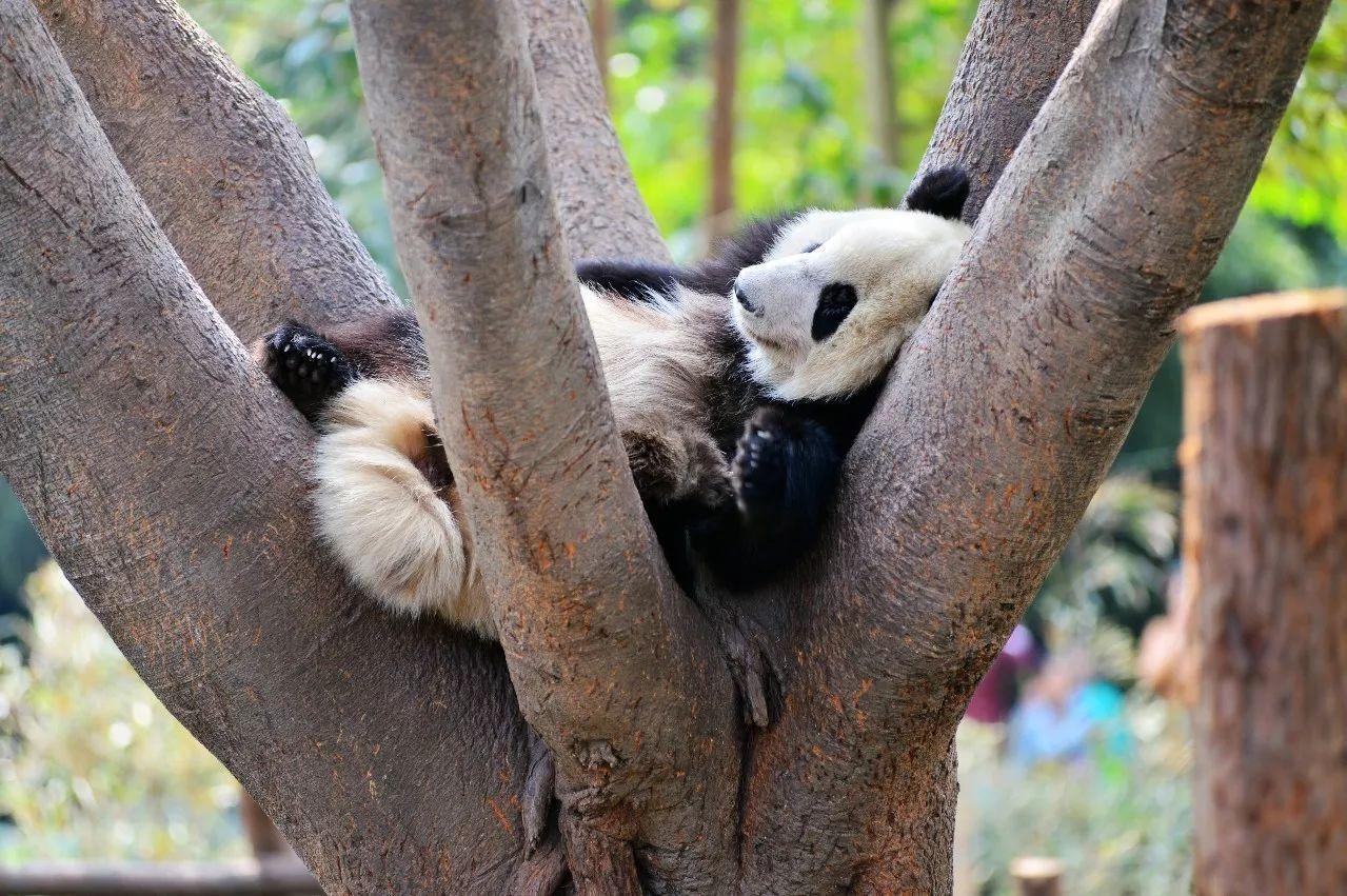 大熊猫瘦成皮包骨急坏众网友!到底咋回事?园方这样回应.