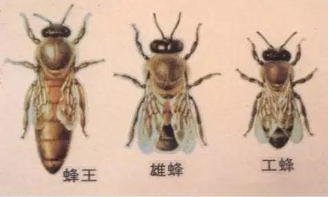 正确认识蜜蜂v蜜蜂蜂蜜阶段,量产不想三个都难!鲨鱼w1在哪里买图片
