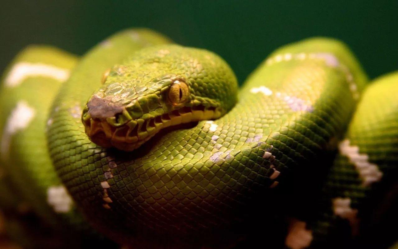 世上最大的蜈蚣图片