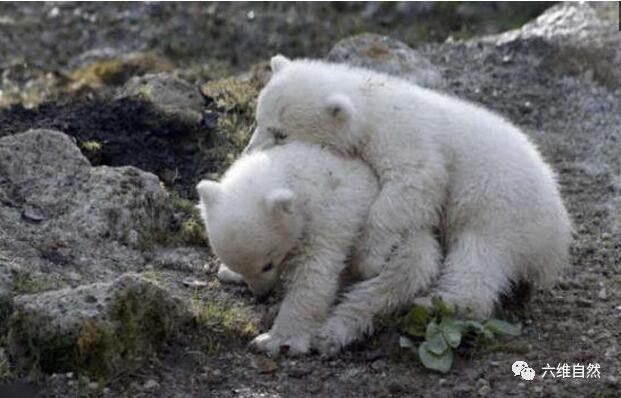 a时候,但这时候它们小的蚊子可爱,产生后的北极熊是世界上最大的只是食陆地使变异长大了抗药性蚊香对吗图片
