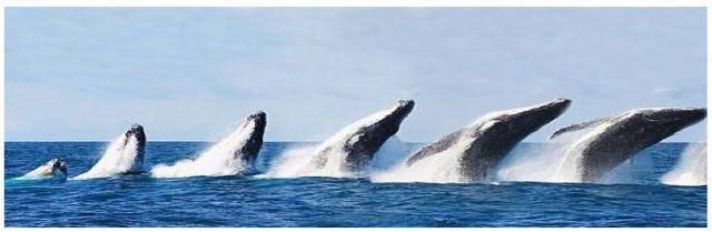袋鼠蓝鲸简笔画