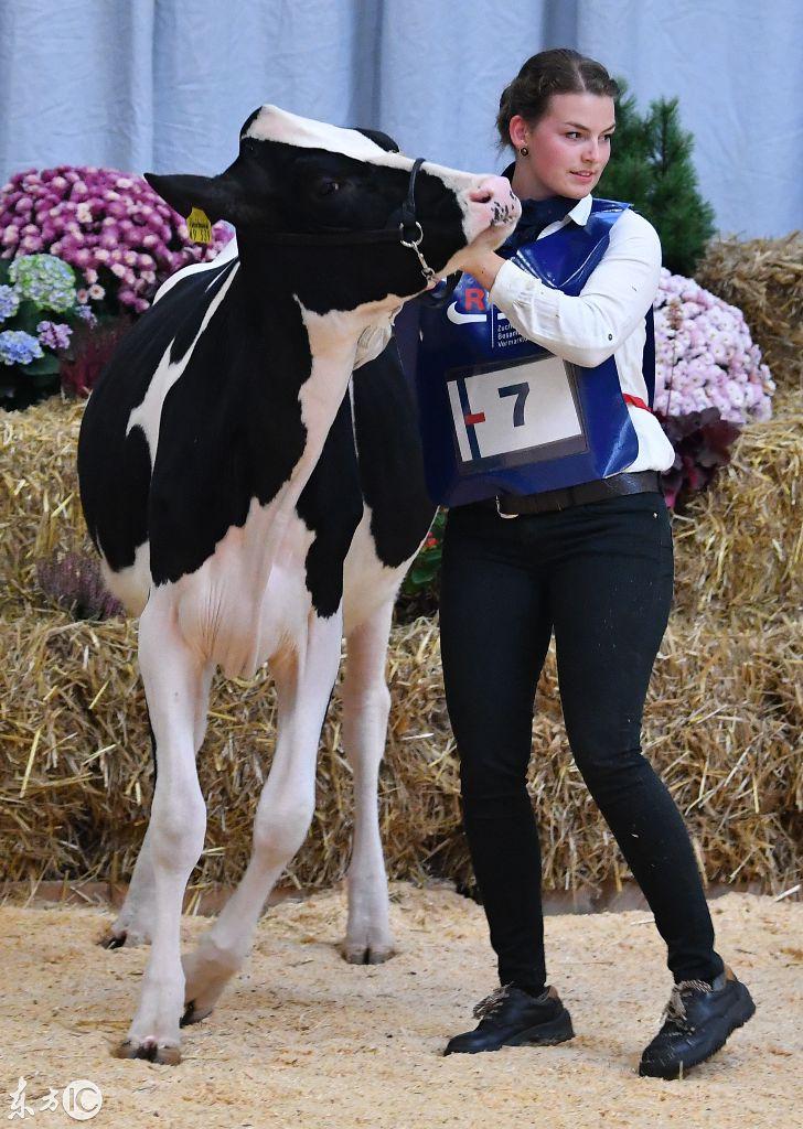 大奶牛bt_网友:这大奶牛确实