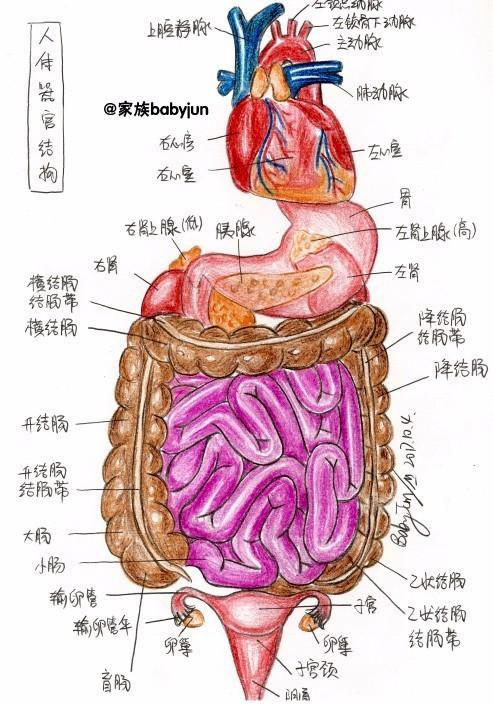 女人体全身器官�_女性盆腔结构,女性生殖系统,卵巢的内部结构,人体器官结构