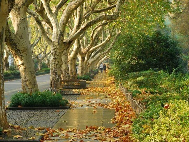 贴心!今秋杭州这15条道路白天不扫落叶,请你随意拍拍!图片