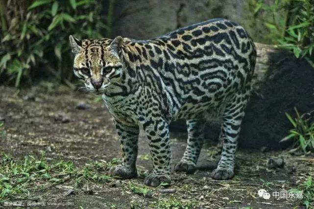 亚洲豹猫_社会 正文  据悉,豹猫,别名狸猫,铜钱猫,石虎等,亚洲的猫科动物,豹猫