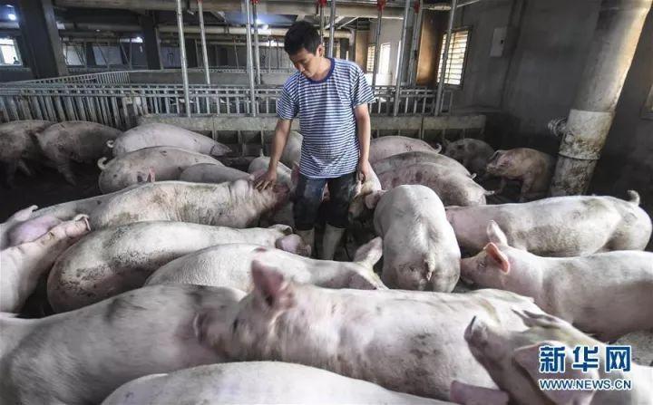 活久见!霸州几千头猪竟住进楼房