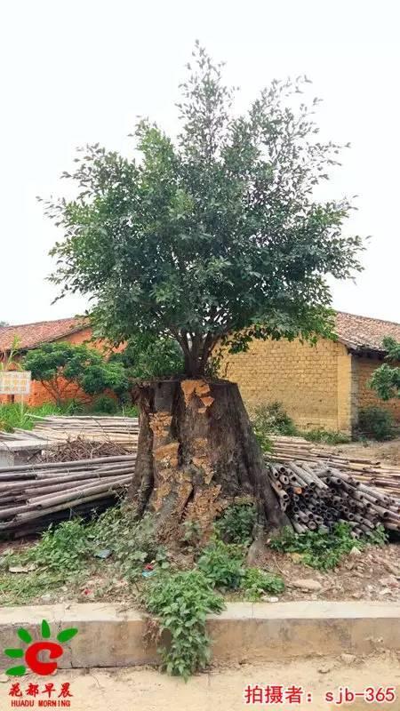 旅游正文这棵榕树在很久很久以前就有长得好大好大一棵树枝叶子