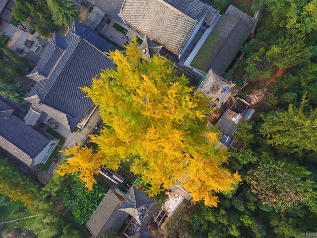 西安千年古银杏树成网红,参观需要排队预约?!传为李世民栽种