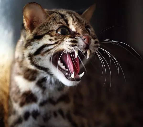 亚洲豹猫_宠物 正文  据悉,豹猫,别名狸猫,铜钱猫,石虎等,亚洲的猫科动物,豹猫