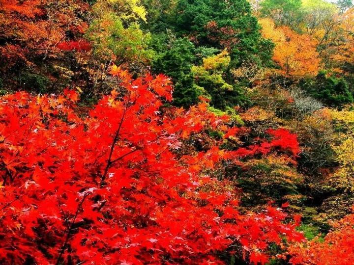 黛眉山枫叶流丹堪比夕阳红霞,比香山红叶更壮观