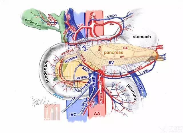 肝脏生理解剖结构_精彩手绘图 轻松学解剖:肝动脉之舞