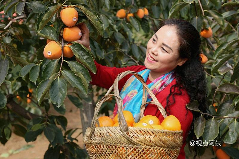 """""""柿饼姑姑""""年销售40多吨成大户  富平柿子园风光无限美 - 视点阿东 - 视点阿东"""