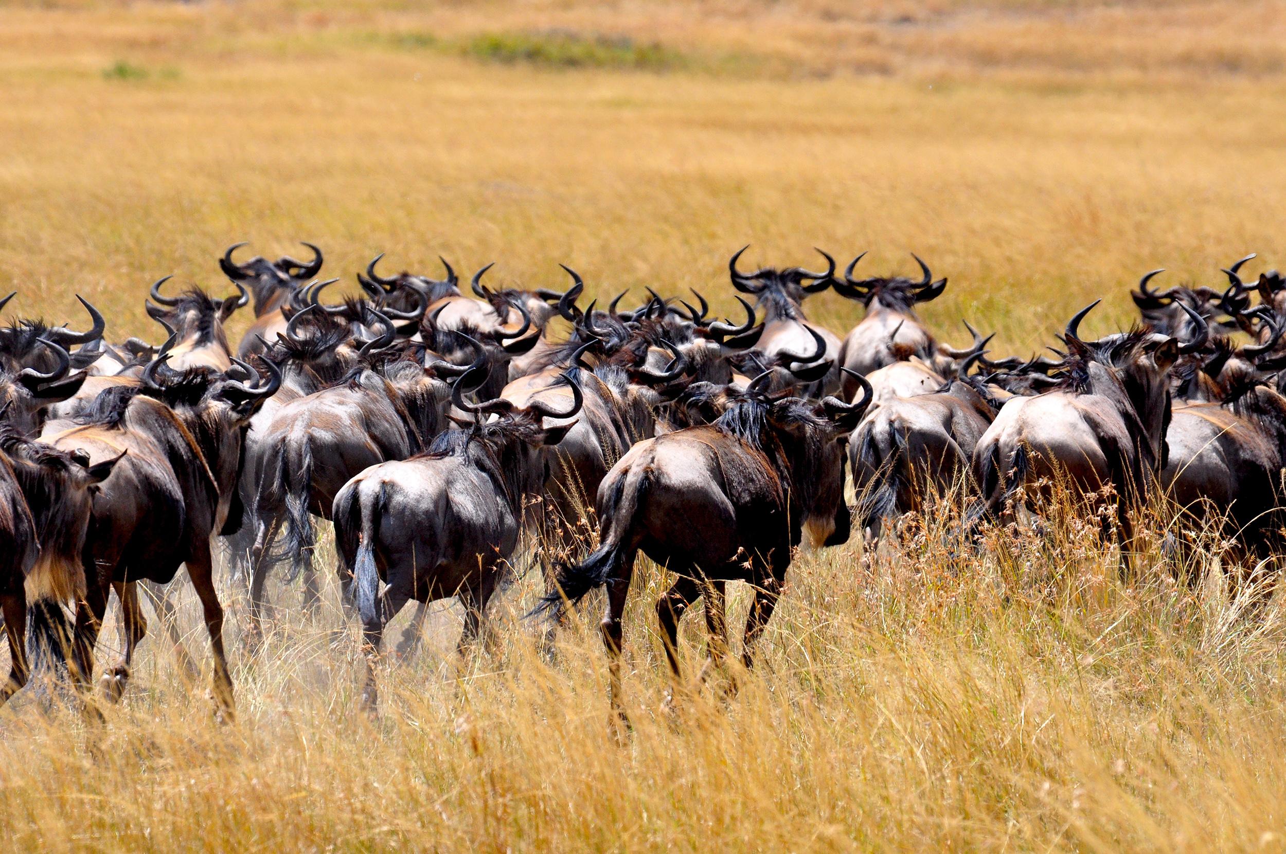 非洲肯尼亚动物之旅精彩瞬间——角马迁徙