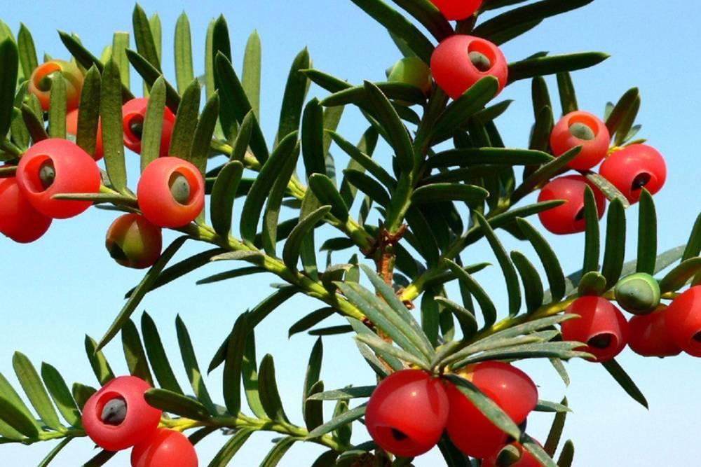 红豆树_美食 正文  相思豆 15% 红豆树 9% 【解析】:海红豆,相思豆,红豆树都