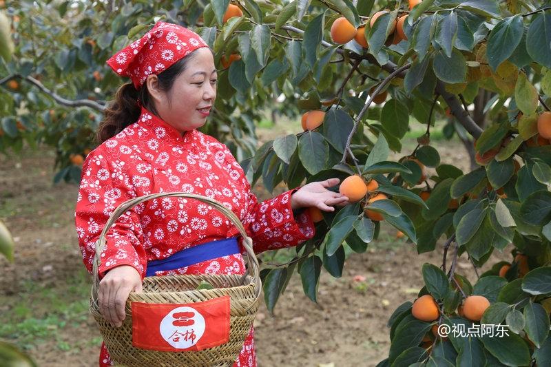 庄里的柿子金灿灿  最美还是园子的那位村姑 - 视点阿东 - 视点阿东