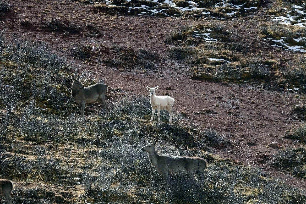 似马非马还是白色!青海三江源发现稀罕动物