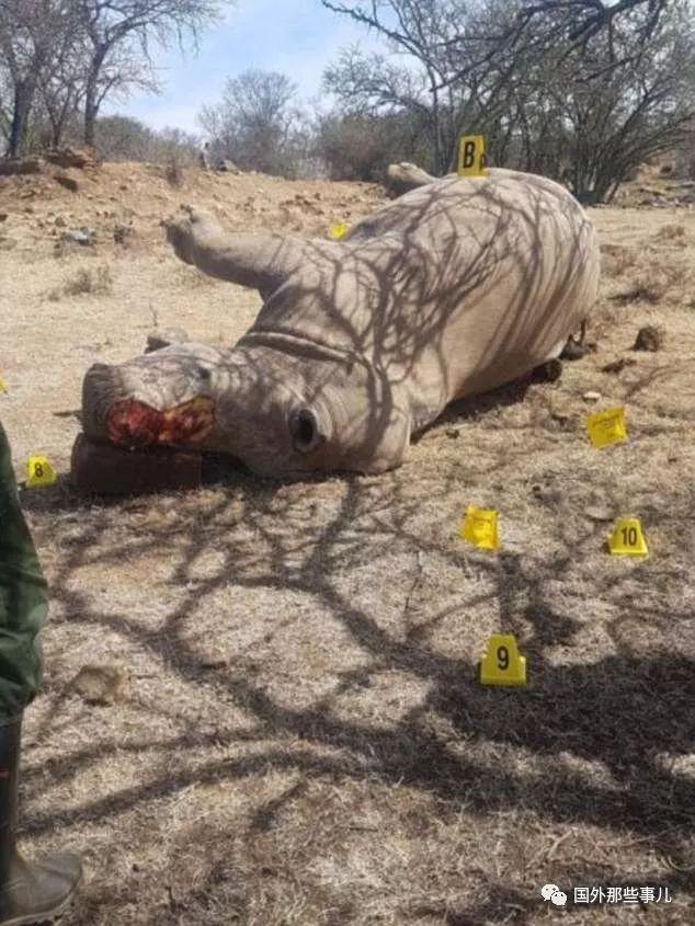 这些犀牛为了自保被割去角 却仍然被人杀害