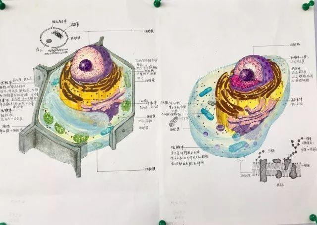 太惊艳 高中生手绘动植物细胞,看完觉得不会画画就没法学生物