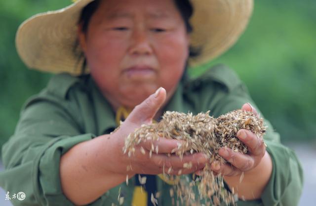 最新收粮政策发布 小麦最低收购价迎来历史新低 麦农该喜还是忧