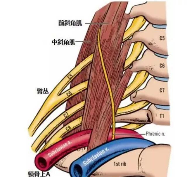 静脉的受压会出现 , ,严重会出现手部 上肢的肿胀